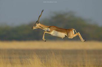 Blackbuck male Jump