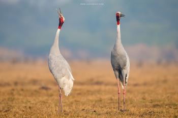 Sarus Cranes from Bharatpur